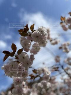 空,花,春,ケーキ,青い空,桜の花,さくら,ブルーム,ブロッサム