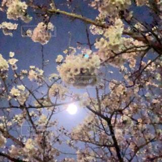 花,春,夜,屋外,夜桜,樹木,月明かり,草木,桜の花,さくら,ブルーム