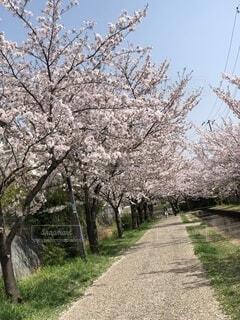 空,花,春,屋外,草,樹木,桜道,散歩道,草木,桜の花,さくら,ブロッサム