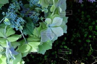 花,屋内,水色,草花,紫陽花,ワイヤープランツ,草木,黄緑,ガーデン,淡い色