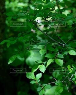 森林,屋外,緑,枝,葉,木漏れ日,樹木,新緑,草木