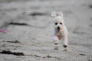 浜辺で飛行している犬の写真・画像素材[4674238]