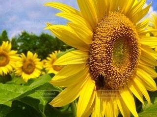 ヒマワリと蜂さんの写真・画像素材[4677352]