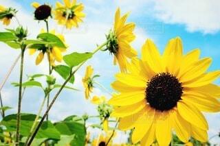 空,花,屋外,ひまわり