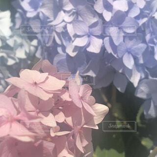 花,植物,あじさい,紫陽花,梅雨,草木