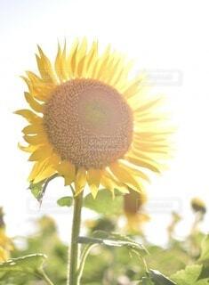 花,夏,ひまわり,青空,黄色,花びら,向日葵,草木,輝き,花粉,キク目