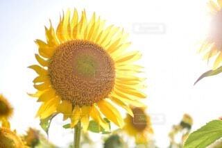 花,夏,ひまわり,青空,黄色,花びら,向日葵,草木,輝き,あおぞら,キク目
