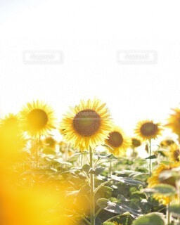 花,夏,ひまわり,黄色,向日葵,草木,キク目