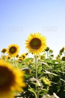 花,夏,ひまわり,青空,黄色,向日葵,草木,あおぞら,キク目