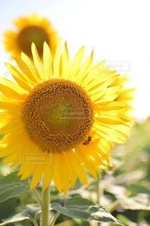 花,夏,ひまわり,向日葵,ミツバチ,草木