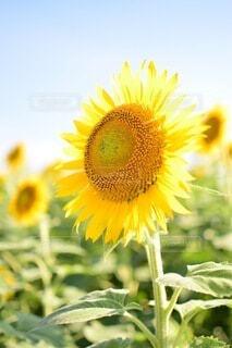 花,夏,ひまわり,青空,向日葵,草木,花粉,あおぞら,キク目