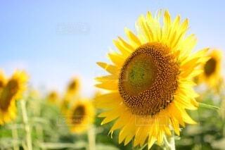 花,夏,ひまわり,青空,向日葵,草木,キク目