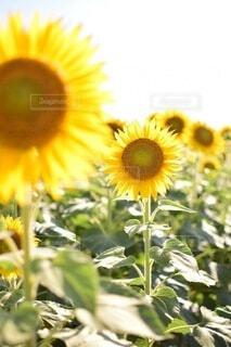 花,夏,ひまわり,向日葵,草木