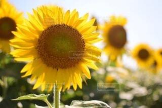 花,夏,ひまわり,向日葵,草木,キク目