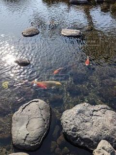 きれいな池の鯉の写真・画像素材[4674752]