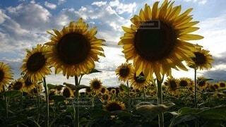 太陽に背を向けるひまわりの写真・画像素材[4679204]