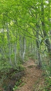 自然,アウトドア,森林,屋外,森,山道,草,樹木,新緑,草木,ブナ