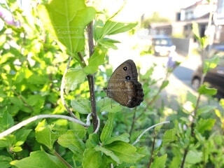 屋外,昆虫,蝶,ジャノメチョウ,蛾や蝶