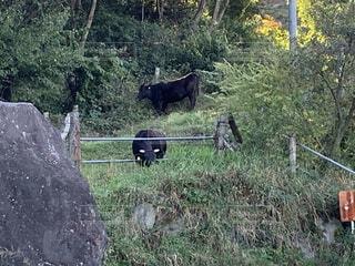 牛食事中の写真・画像素材[4679292]