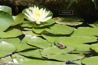 自然,花,水面,池,蓮,カエル,ロータス,スイレン,水生植物
