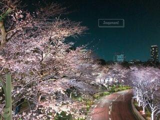 自然,風景,桜,屋外,夜桜,景色,樹木,草木