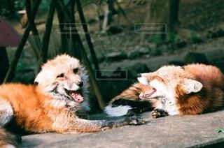 犬,動物,屋外,かわいい,景色,オレンジ,#フィルムカメラ,キツネ村での1枚です!