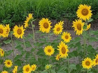 花,ひまわり,黄色,草,草木,キク目