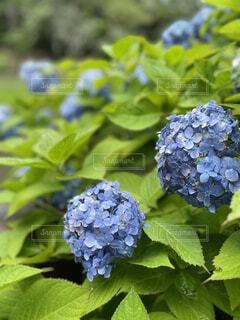 植物,あじさい,紫,紫陽花,梅雨