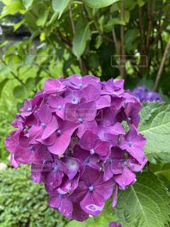 花,緑,植物,あじさい,紫,葉,紫陽花,梅雨,草木