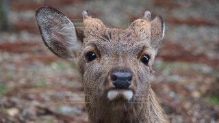 カメラを見ている鹿のアップの写真・画像素材[4679035]