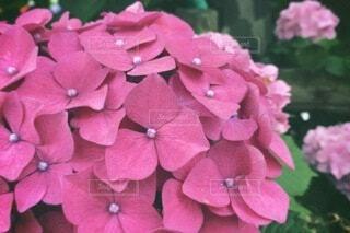 花,ピンク,草木,バーベナ,フローラ