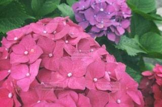 花,ピンク,草木,バーベナ