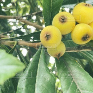 食べ物,マンゴー,葉,オレンジ,果物,樹木,草木,リンゴ,果樹