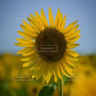 花,夏,ひまわり,黄色,夏休み,ミツバチ,草木,空とひまわり,ミツバチとひまわり