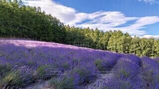 自然,風景,空,花,夏,屋外,紫,ラベンダー,草,樹木,新緑,ライラック,草木,山腹
