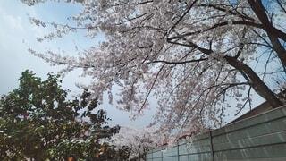 空,花,屋外,樹木,さくら,ブロッサム