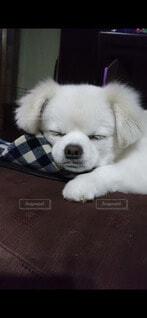 犬,空,動物,チワワ,ペキニーズ,屋内,芝生,屋外,白,かわいい,景色,ペット,癒し,笑顔,子犬,ミックス,犬種