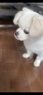 犬,空,動物,チワワ,ペキニーズ,屋内,屋外,白,かわいい,ペット,床,癒し,笑顔,子犬,ミックス