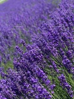 空,花,屋外,紫,景色,ラベンダー,富良野,ファーム冨田
