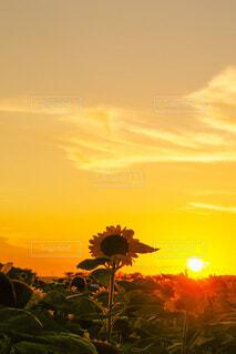 自然,空,花,屋外,太陽,ひまわり,雲,夕暮れ