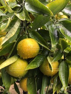 冬,木,山,フルーツ,みかん,野外,ビタミン,早生
