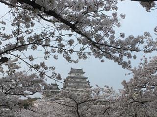 姫路城で夜桜!の写真・画像素材[1122061]
