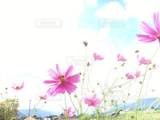 コスモスと蜂!の写真・画像素材[1457800]