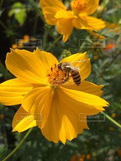 コスモスと小さな蜂!の写真・画像素材[1457822]