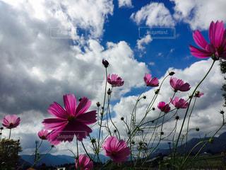 自然,空,秋,屋外,ピンク,コスモス,カラフル,雲,山,鮮やか,地面,草木