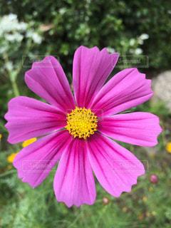 ピンク色のコスモス!の写真・画像素材[1458874]