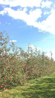 こんな風にリンゴが育っているですね!!の写真・画像素材[1603540]