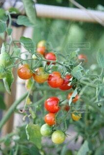 野菜畑の宝石 ミニトマトの写真・画像素材[4696374]
