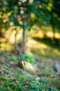 夕暮れ時の白い彼岸花の写真・画像素材[4818196]