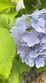花,紫,紫陽花,梅雨,草木,フローラ,紫陽花ロード